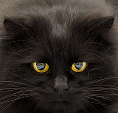 Черная кошка черные кошки породы