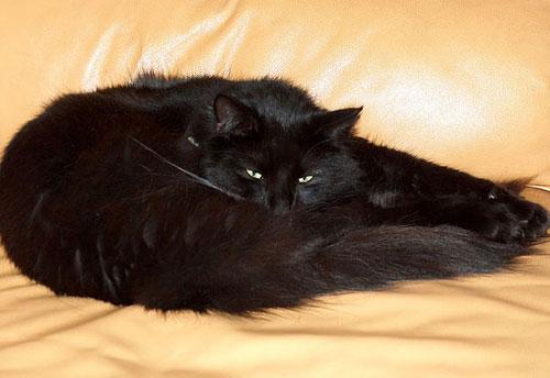 Порода кота черного цвета