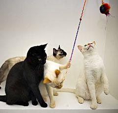 Британская короткошерстная кошка описание фото стандарт