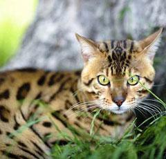 Бенгальские коты характеристики