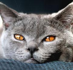 Все о болезнях британских котов