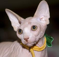 Характеристики сфинксов котов