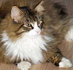 фото котов норвежская порода