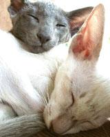 Кошка ашера больше чем кошка