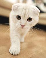 Описание коты шотландские вислоухие
