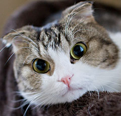 Характеристика котов шотландских вислоухих