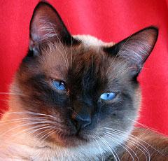 Коты характеристика породы фото