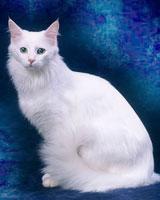 Британский кот  biofileru