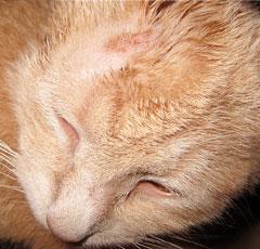 Лишай у кошек, признаки, симптомы.