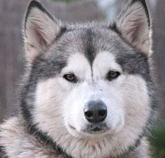 Аляскинский маламут. Описание породы, характер, болезни ...: http://petsik.ru/dogbreed-alaskanmalamute.html