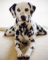 http://petsik.ru/images/images-dog/breed-dog/dalmatian-ver.jpg