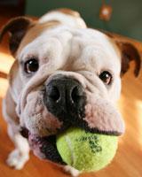 Собаки и щенки породы Бультерьер  купить из питомников и