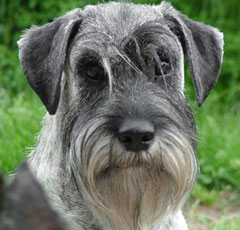 http://petsik.ru/images/images-dog/breed-dog/schnauzer-st.jpg