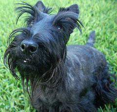 http://petsik.ru/images/images-dog/breed-dog/scottish.jpg