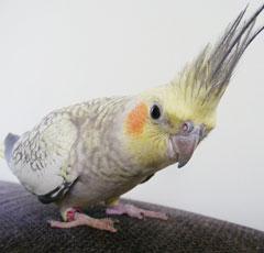 Рассказы о попугаях корелла