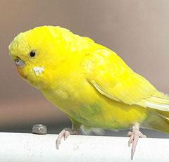 Виды попугаев в мире Разновидности попугаев