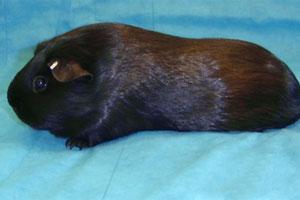 Породы морских свинок American